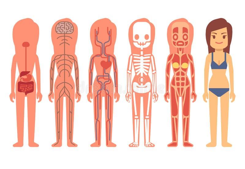 Medische de anatomie vectorillustratie van het vrouwenlichaam Skelet, spier, van de bloedsomloop, zenuwachtige en spijsverterings stock illustratie
