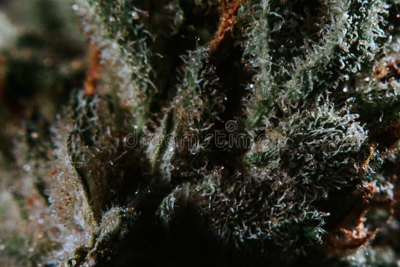 Medische Marihuana, Indica Cannabis, Sativa, Trichomes, THC, CBD, kankerbehandeling, onkruid, bloem, Hennep, gram, knop stock foto