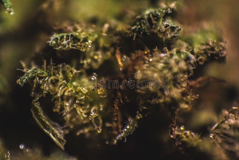Medische Marihuana, Indica Cannabis, Sativa, Trichomes, THC, CBD, kankerbehandeling, onkruid, bloem, Hennep, gram, knop stock fotografie