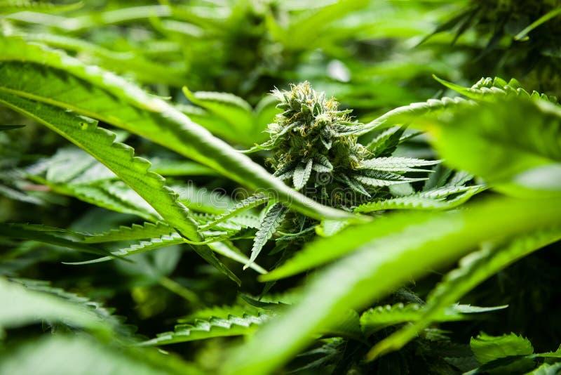 Medische marihuanainstallatie in een overzees van groen stock foto