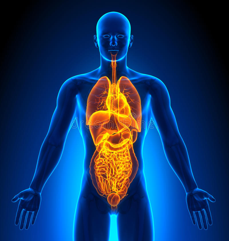 Medische Weergave - Mannelijke Organen stock illustratie