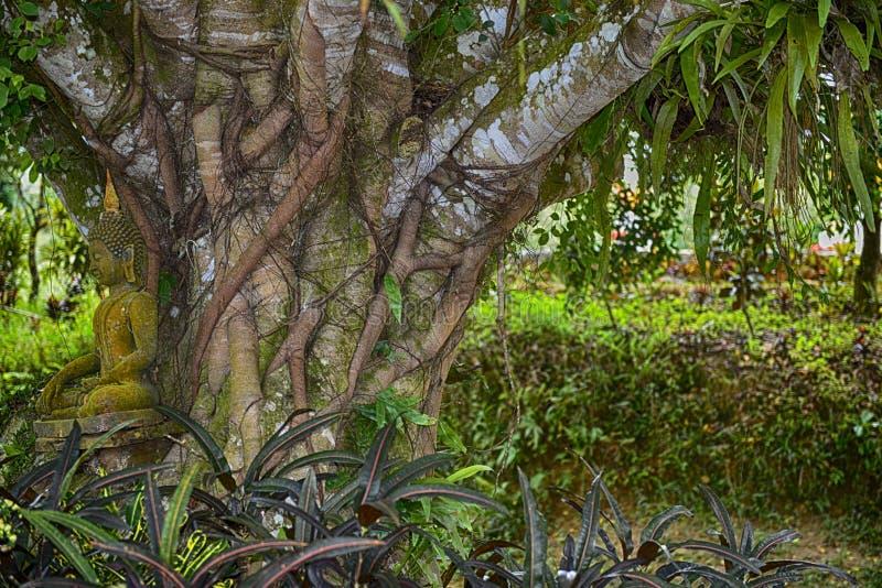 Meditation unter einem jahrhundertalten Baum: Koh Samui, Thailand stockfoto