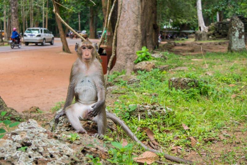 Meditera som kyler macaqueapan royaltyfria foton