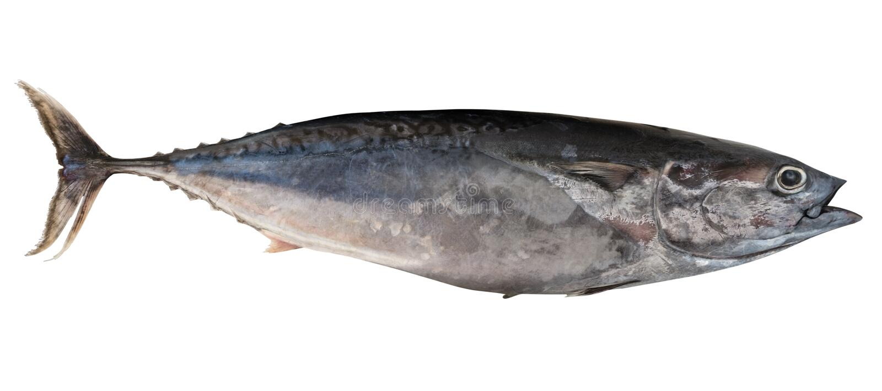 Mediterraan paard - makreel Trachurus mediterraneus stock afbeeldingen