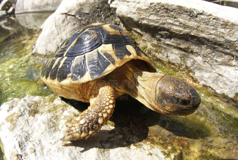 Mediterrane gemeenschappelijke landschildpad stock afbeelding