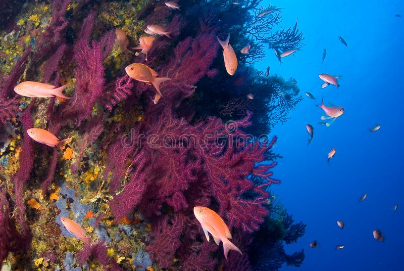 Mediterrane gorgonians en Anthias-anthiasvissen Medeseilanden Costa Brava royalty-vrije stock afbeelding