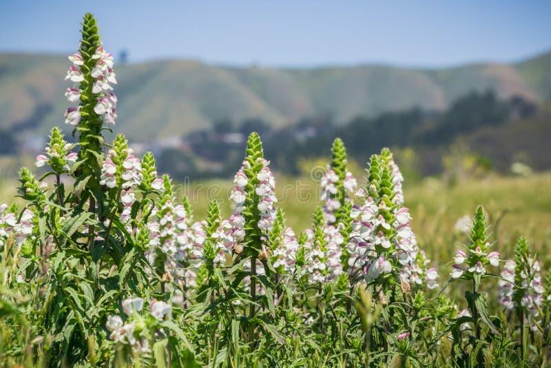 Mediterrane trixago van Lijnzaadbellardia, Mori Point, Pacifica, de baaigebied van San Francisco; invasief in Californië stock fotografie