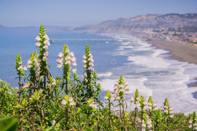 Mediterrane trixago van Lijnzaadbellardia, Mori Point, Pacifica, de baaigebied van San Francisco; invasief in Californië stock foto