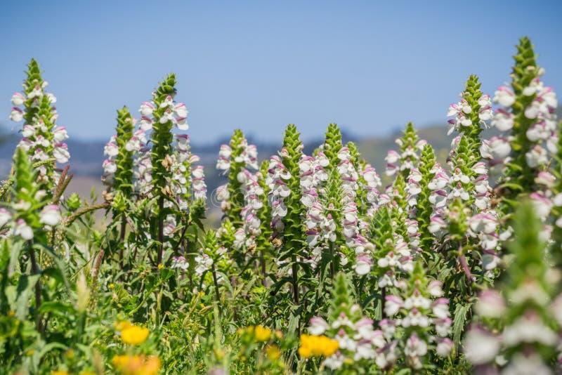 Mediterrane trixago van Lijnzaadbellardia, Mori Point, Pacifica, de baaigebied van San Francisco; invasief in Californië royalty-vrije stock fotografie