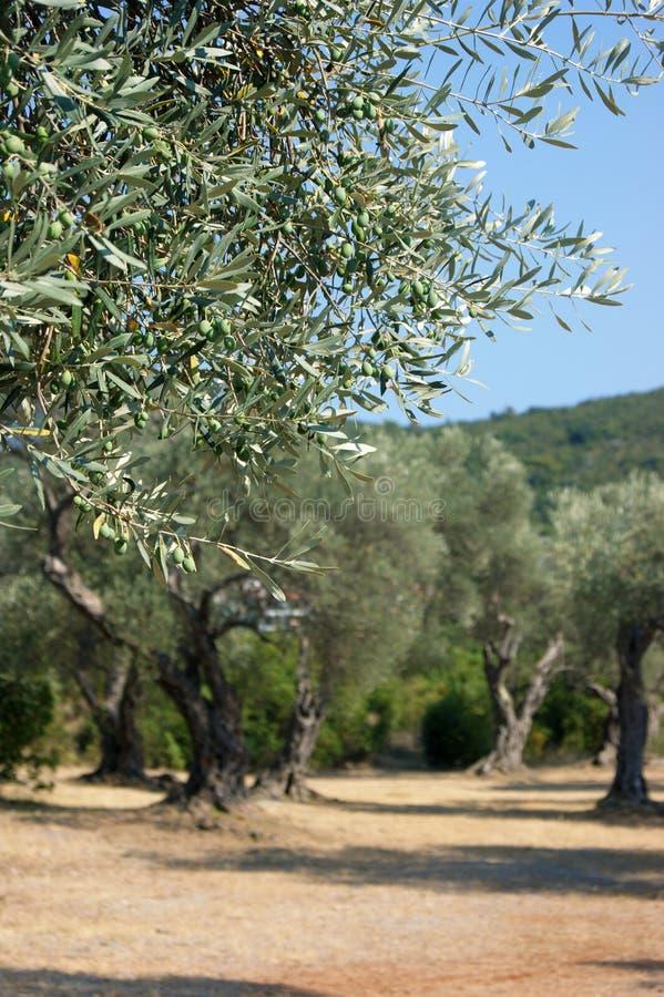 Mediterrane tuin, close-up de tak stock afbeeldingen