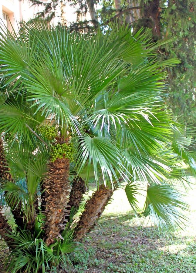 Mediterrane Ventilatorpalm, waaiervormige bladeren en dikke boomstammen stock afbeeldingen