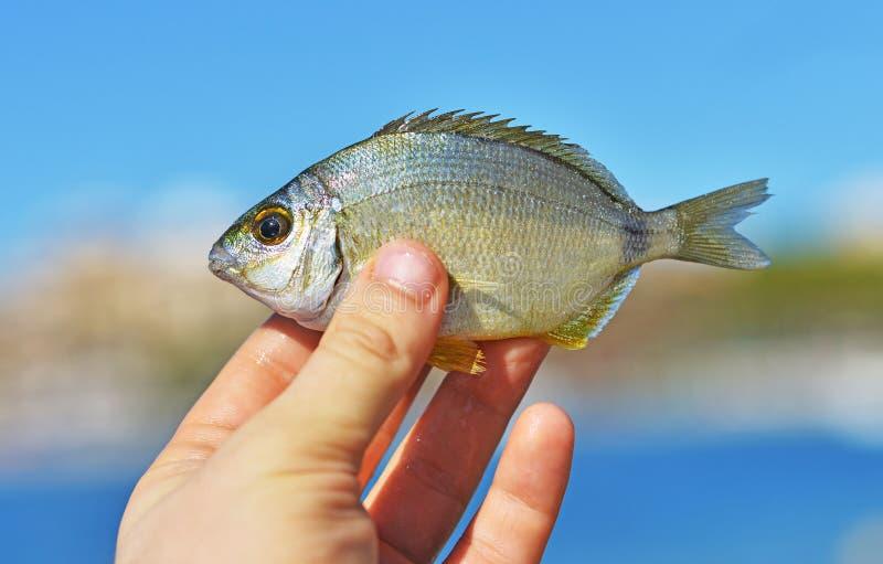 Mediterrane vissen stock afbeelding