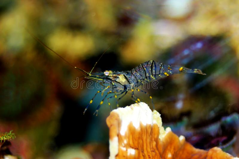 Mediterranean Crystal shrimp - Palaemon elegans. Palaemon elegans sometimes known by the common name rockpool shrimp, is a species of shrimp of the family royalty free stock photo