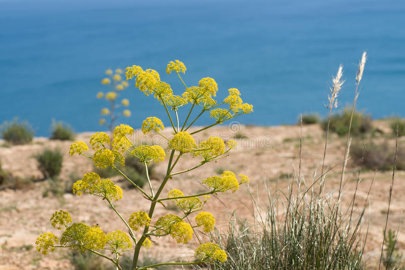 Mediterranean fennel royalty free stock photos