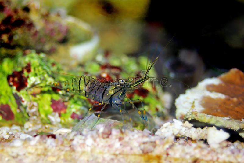 Mediterranean Glass shrimp - Palaemon elegans. Palaemon elegans sometimes known by the common name rockpool shrimp, is a species of shrimp of the family royalty free stock photos