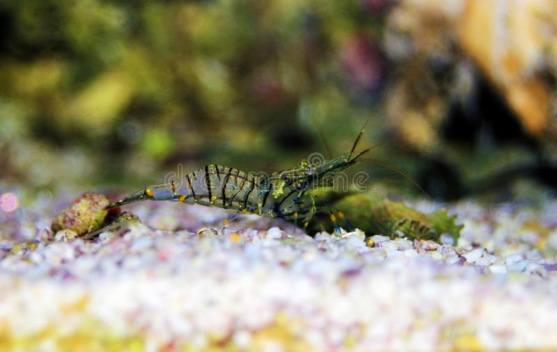Mediterranean Glass shrimp - Palaemon elegans. Palaemon elegans sometimes known by the common name rockpool shrimp, is a species of shrimp of the family royalty free stock photography