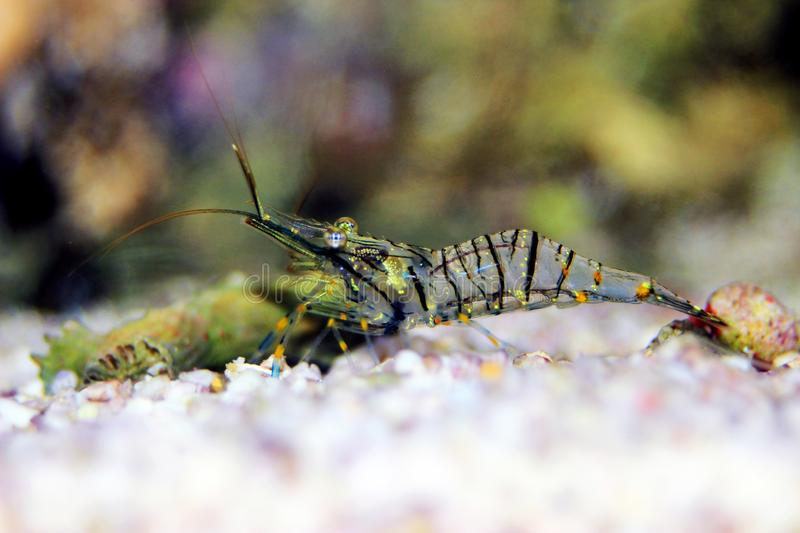Mediterranean Glass shrimp - Palaemon elegans. Palaemon elegans sometimes known by the common name rockpool shrimp, is a species of shrimp of the family stock images