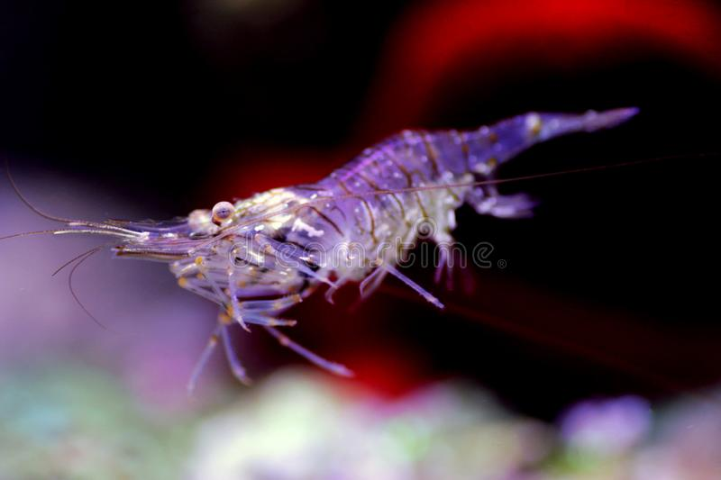 Mediterranean Glass shrimp - Palaemon elegans. Palaemon elegans sometimes known by the common name rockpool shrimp, is a species of shrimp of the family royalty free stock images