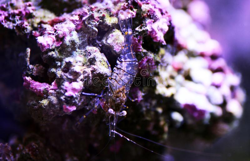 Mediterranean Glass shrimp - Palaemon elegans. Palaemon elegans sometimes known by the common name rockpool shrimp, is a species of shrimp of the family stock photos