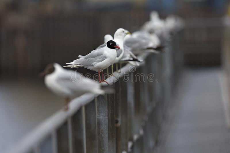 A Mediterranean gull Ichthyaetus melanocephalus perched next to mew gulls on a metal railing of the city Bremen. royalty free stock photography