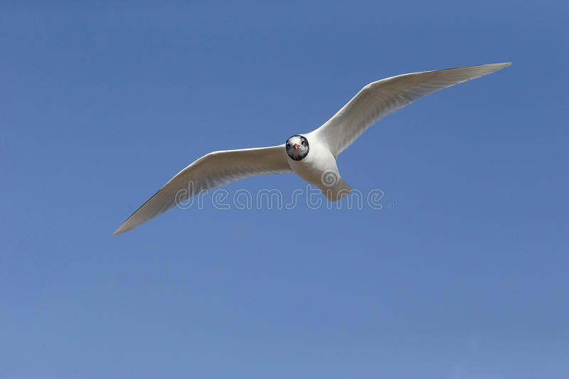 Download Mediterranean Gull, Larus Melanocephalus Stock Image - Image: 39121105
