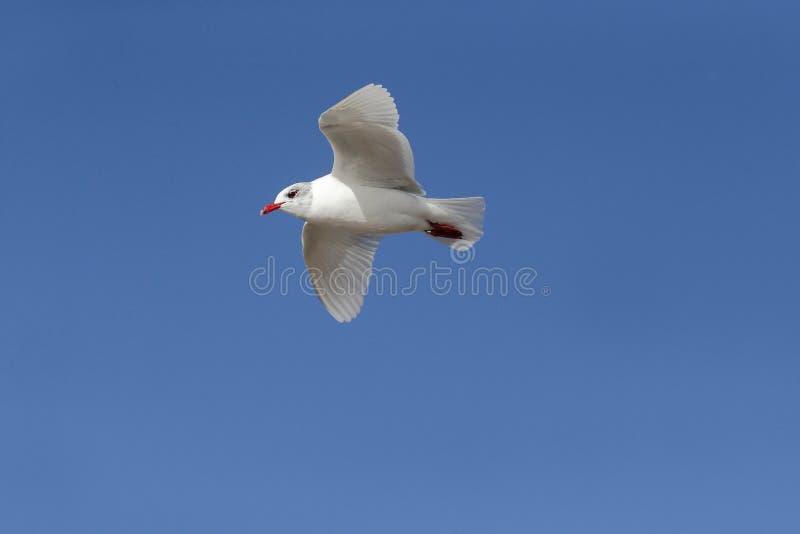 Download Mediterranean Gull, Larus Melanocephalus Stock Photo - Image: 39121119