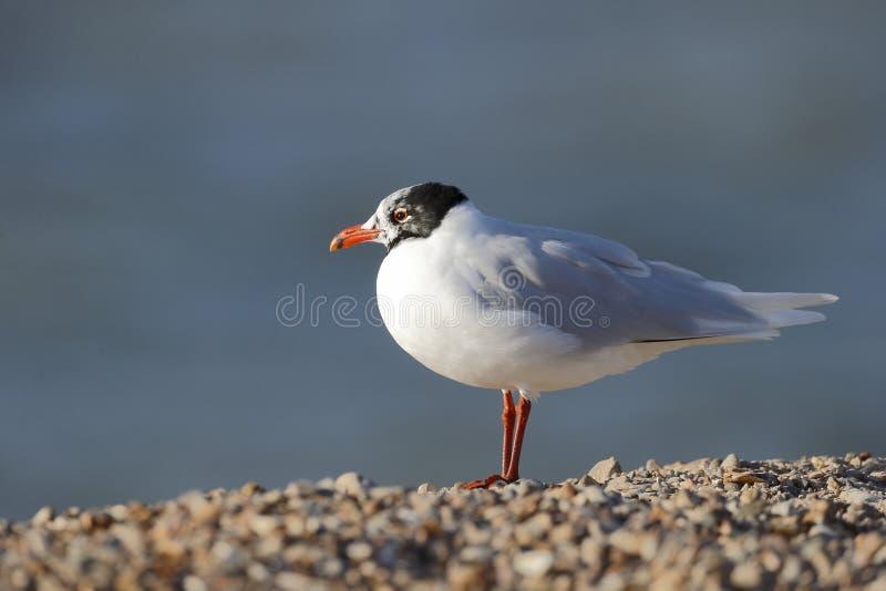 Download Mediterranean Gull, Larus Melanocephalus Stock Image - Image: 39121235