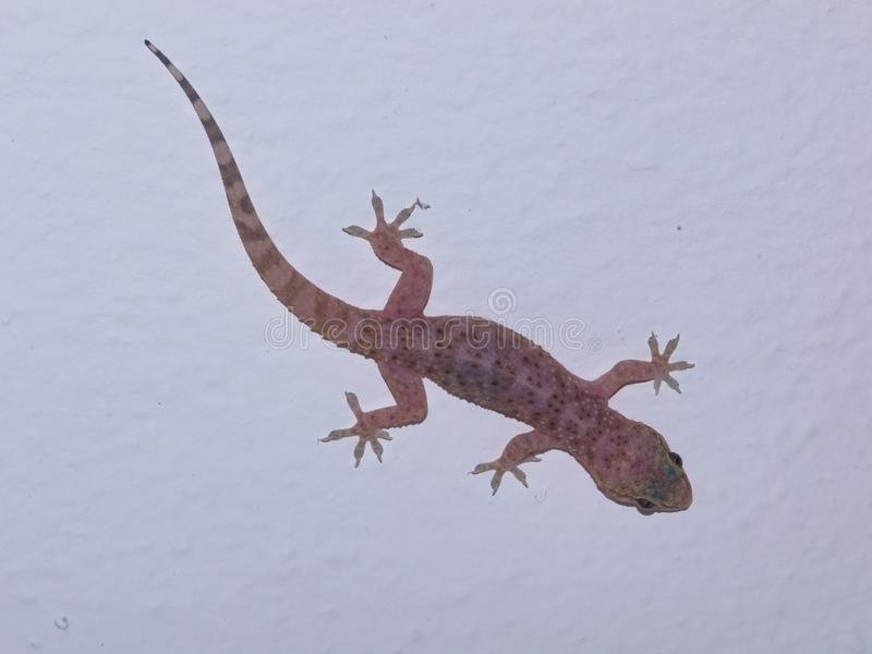 Mediterranean house gecko on a white wall close-up, selective focus, shallow DOF royalty free stock photo