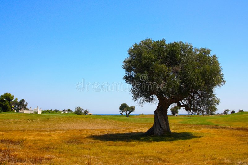 Mediterranean landscape. With an olive tree and blue sky royalty free stock images