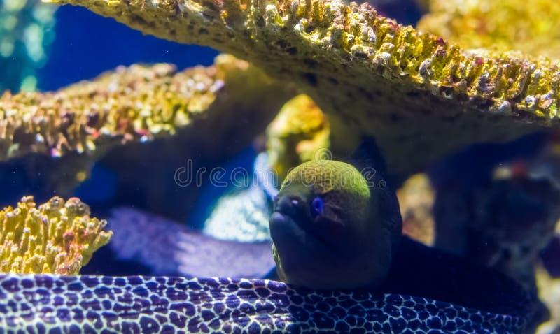 Mediterranean moray eel in closeup, popular aquarium pet, tropical fish specie. A mediterranean moray eel in closeup, popular aquarium pet, tropical fish specie stock images