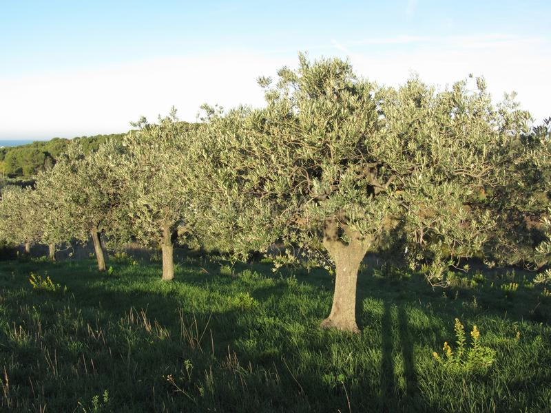 Mediterranean olive trees in a row in the tuscan countryside . Tuscany, Italy stock photography