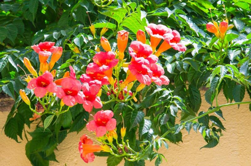 Mediterranean orange trumpet flower stock image
