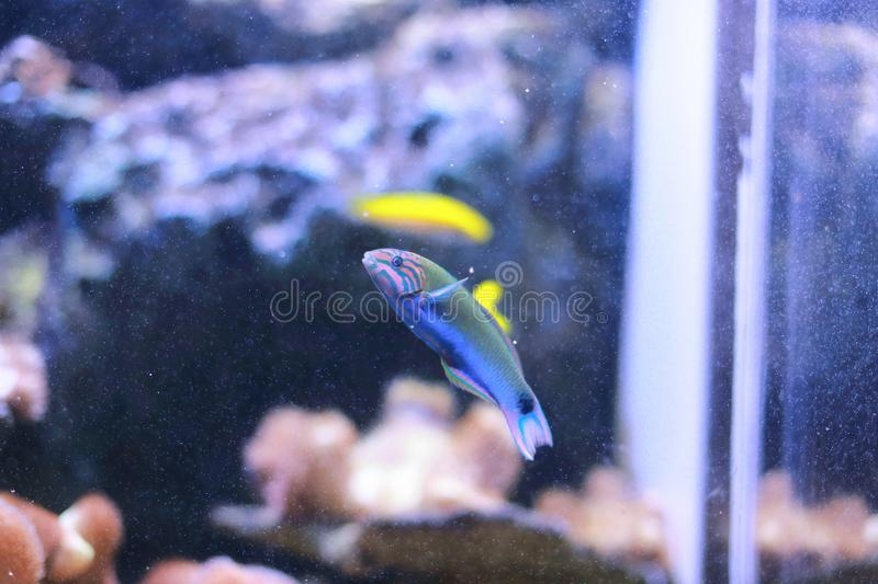 Mediterranean rainbow wrasse. The Mediterranean rainbow wrasse (Coris julis) is a small, colourful fish in the family Labridae. It can be found in the stock photos
