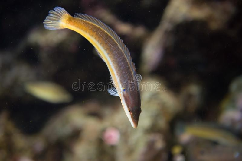 Mediterranean rainbow wrasse, coris julis. The Mediterranean rainbow wrasse Coris julis is a small, colourful fish in the family Labridae. Like many wrasses, C royalty free stock photography