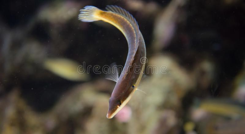 Mediterranean rainbow wrasse, coris julis. The Mediterranean rainbow wrasse Coris julis is a small, colourful fish in the family Labridae. Like many wrasses, C stock photos