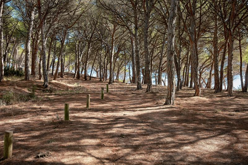 Mediterranean`s pine forest shadowed path. A path through a pine forest projecting its shadows in summer season circa Playa de Aro, Spain stock image