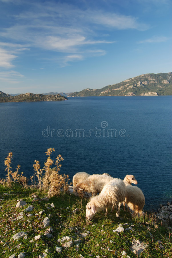 Mediterranean Sea and Sheep royalty free stock images