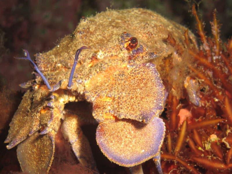 Mediterranean slipper lobster stock images