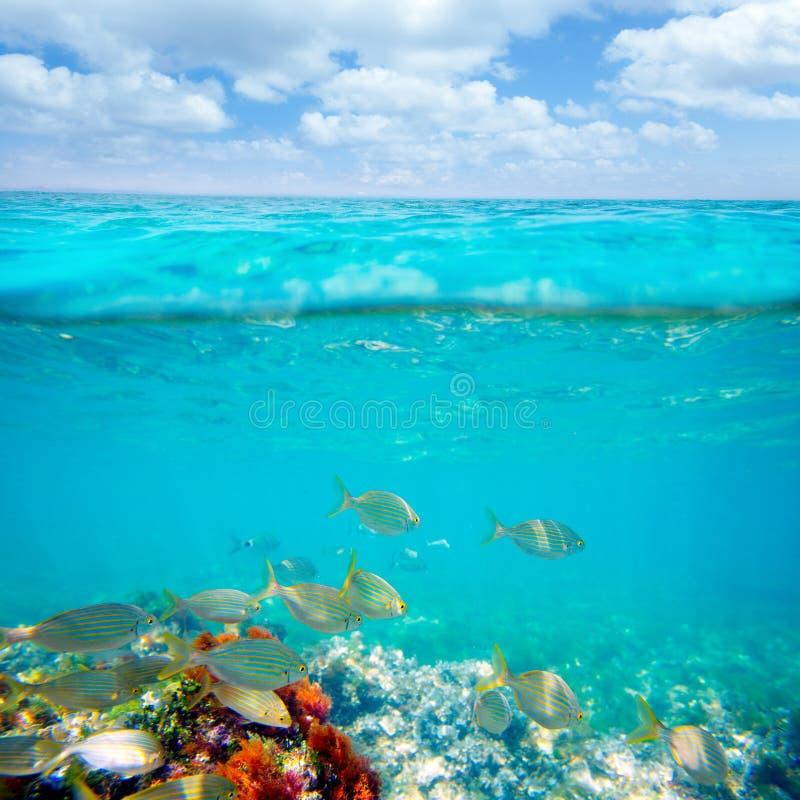 Mediterranean underwater with salema fish school. In spain