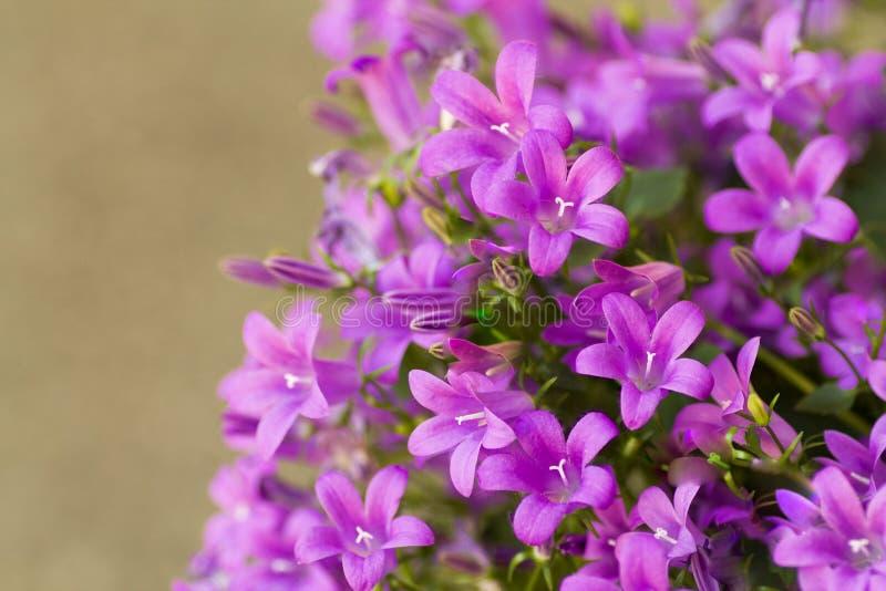 Medium della campanula in fioritura nel colore vibrante nella primavera immagine stock