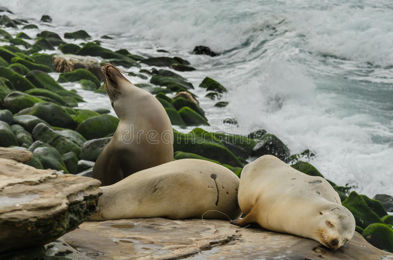Medium Shot of Sea Lions Sleeping On Rocks. With sea lion tilting head up in background royalty free stock photo