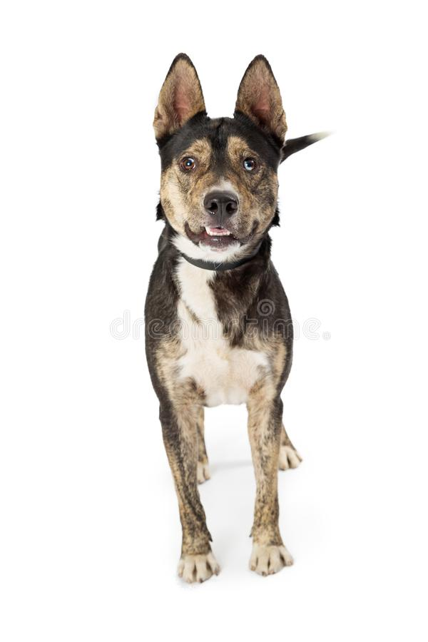 Shepherd Dog Standing Middle Looking Forward. Medium size mixed Shepherd breed dog standing in center of frame looking forward royalty free stock images