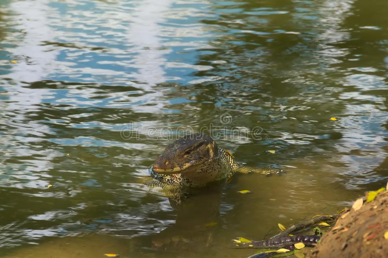 A medium sized, beautiful monitor lizard, at the edge of a man-made waterway embankment, enjoying the waters, in a lush Thai garde. A medium sized, beautiful stock photos