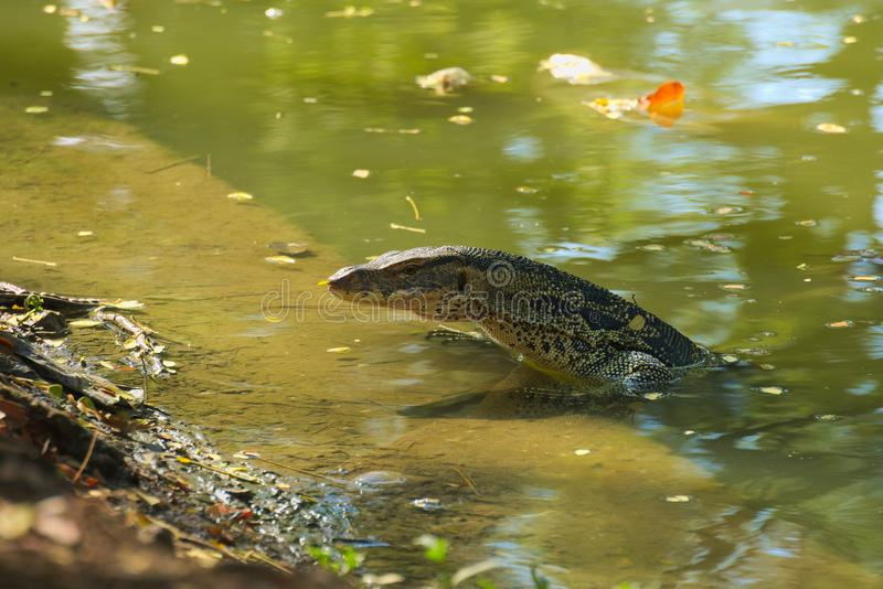 A medium sized, beautiful monitor lizard, at the edge of a man-made waterway embankment, enjoying the waters, in a lush Thai garde. A medium sized, beautiful royalty free stock image