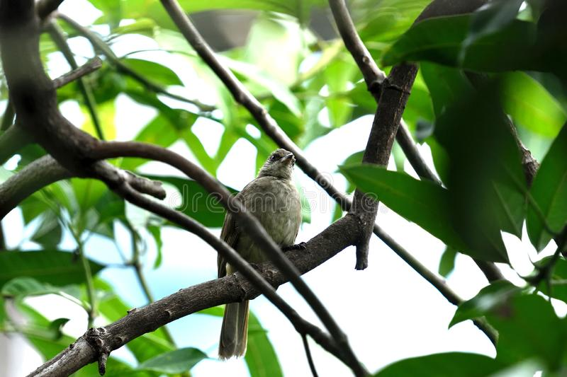 Streak - eared bulbul. The medium - sized bird with brownish color and whitish streaked ear - coverts and pale eyes royalty free stock photography