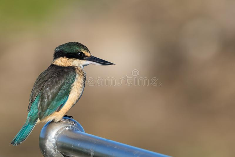 Sacred Kingfisher of Australasia. Medium sized kingfisher of open and wood lands with a range of plumage from blue to green stock photos