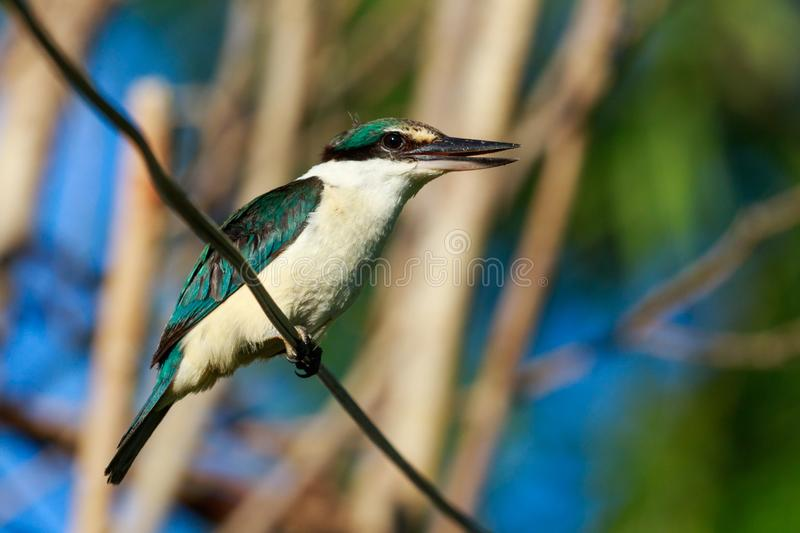 Sacred Kingfisher of Australasia. Medium sized kingfisher of open and wood lands with a range of plumage from blue to green stock photo