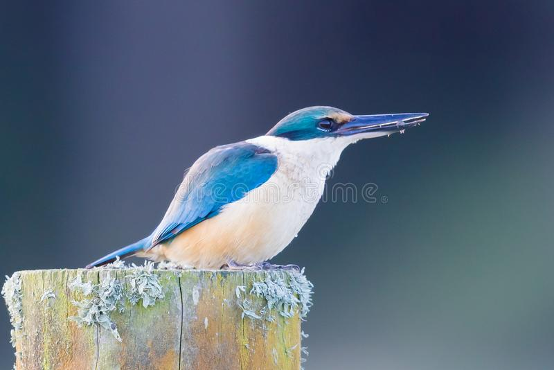 Sacred Kingfisher of Australasia. Medium sized kingfisher of open and wood lands with a range of plumage from blue to green royalty free stock photography