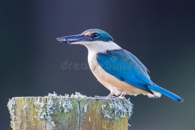 Sacred Kingfisher of Australasia. Medium sized kingfisher of open and wood lands with a range of plumage from blue to green stock image