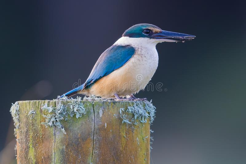 Sacred Kingfisher of Australasia. Medium sized kingfisher of open and wood lands with a range of plumage from blue to green stock photography